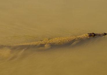 Crocodile Swim